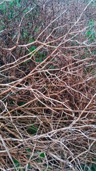 The rotten branches of a wild vine