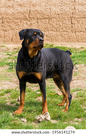 The Rottweiler is guarding the territory. An adult dog of the Rottweiler breed. Close-up. Female dog. Rottweiler color. Guard dog. Green grass Zdjęcia stock ©