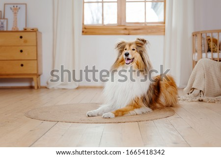 The Rough Collie dog at home. Dog inside Foto stock ©