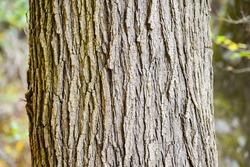 The rough-textured bark of a mature American Elm tree (Ulmus americana) in Pennsylvania.