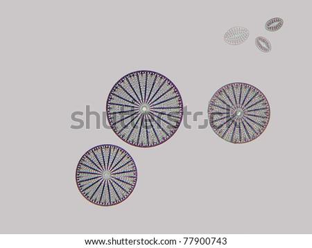 The round diatom Arachnoidiscus.  Magnification 100X
