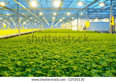 The rows of fresh dill and parsley growing in the greenhouse