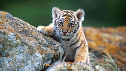 The royal Bengal tiger lives in a tropical rainy environment