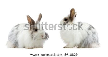 the royal lionhead's rabbit