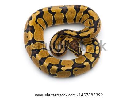 The royal python isolated on white background