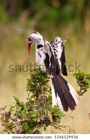 The Ruaha Red-billed Hornbill has recently been reclassified as a new species as there is sufficient difference in plumage and colouration to distinguish from the widely spread Red-billed Hornbill