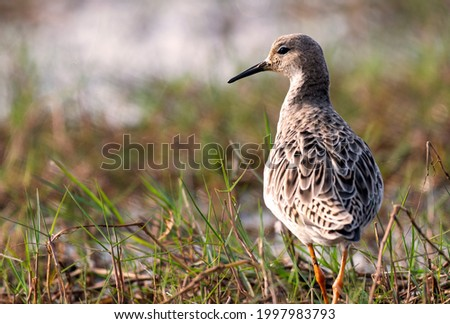 The ruff is a medium-sized wading bird that breeds in marshes and wet meadows across northern Eurasia. This highly gregarious sandpiper is migratory and sometimes forms huge flocks in its winter. Stockfoto ©