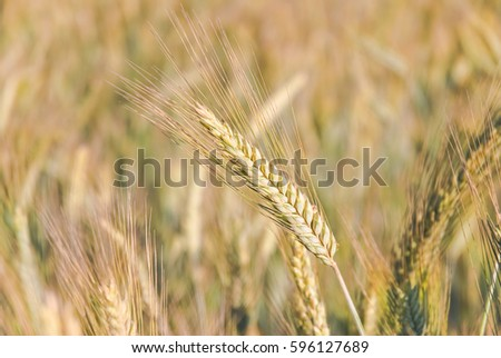The rye crop (Secale cereale) on the field #596127689