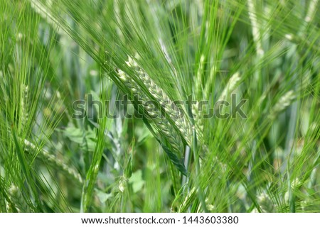 The rye green  growing in the field. Rye ear close up. Secale cereale. Poaceae Family. #1443603380