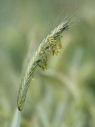 The rye is in bloom. An ear of grain with anthers close-up.