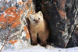 The sable climbed out of his burrow.  Russia, Buryatia, Bauntovsky district.