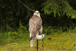 The Saker falcon, Falco cherrug, domesticated for falconry sitting on a perch with green grass and tree branches in the background.