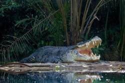 The saltwater crocodile (Crocodylus porosus) is a crocodilian native to saltwater habitats and brackish wetlands from India's east coast across Southeast Asia and the Sundaic region to Australia.