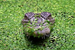 The Saltwater Crocodile (Crocodylus porosus) is a crocodilian native to saltwater habitats and brackish wetlands from India's east coast across to Southeast Asia.