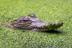 The Saltwater Crocodile (Crocodylus porosus) is a crocodilian native to saltwater habitats and brackish wetlands from India's east coast across to Southeast Asia.
