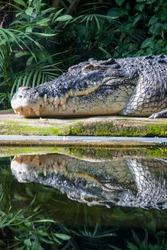 The saltwater crocodile (Crocodylus porosus) is a crocodilian native to saltwater habitats and brackish wetlands from India's east coast across Southeast Asia and the Sundaic region to Australia.