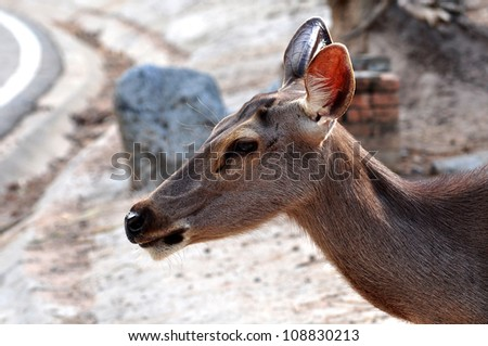 The Sambar is a large deer native to southern and southeast Asia.