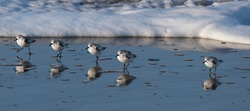 The sanderling is a small wading bird. The name derives from Old English sand-yrðling,