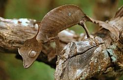 The satanic leaf-tailed gecko Madagascar