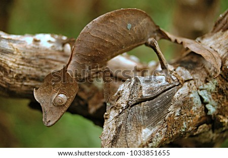 The satanic leaf-tailed gecko Madagascar