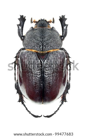 The Scarabaeus -  Dung beetle isolated on a white background.