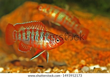 The scarlet badis (Dario dario) is a tropical freshwater fish and one of the smallest known percoid fish species. It is a micropredator, feeding on small aquatic crustaceans, worms, insect larva Zdjęcia stock ©