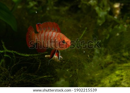 The scarlet badis (Dario dario) is a tropical freshwater fish and one of the smallest known percoid fish species. Zdjęcia stock ©