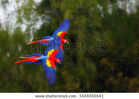 The scarlet macaw (Ara macao) flying through forest with green background.  Macaw pair flying high in the greenery of trees.Two big parrots flying in formation on green background.