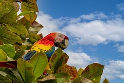 The scarlet macaw (Ara macao) is a large red, yellow, and blue Central and South American parrot, a member of a large group of Neotropical parrots called macaws.