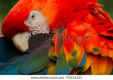 THE SCARLET MACAW IS A LARGE, COLORFUL MACAW IT IS NATIVE TO HUMID EVERGREEN FORESTS IN THE AMERICAN TROPICS RANGE EXTENDS FROM EXTREME SOUTH-EASTERN MEXICO TO AMAZONIAN PERU, BOLIVIA AND BRAZIL