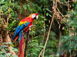 The scarlet macaw is regarded by many as the most beautiful member of the parrot family. İt is certainly the most colorful, with its large solid swatches of red, blue, and yellow.