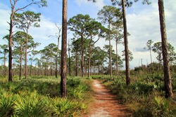 The scenic and popular Kitching Creek Trail cuts through a vast pine forest in Jonathan Dickinson State Park in South Florida