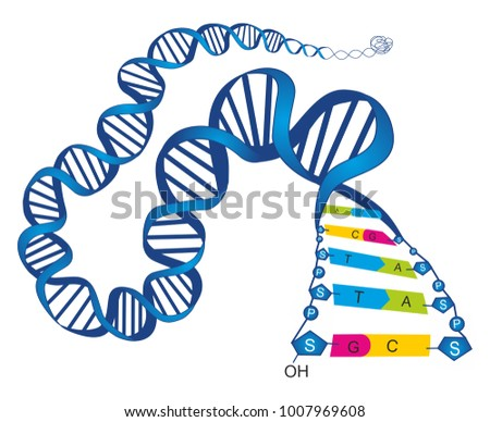 The schematic illustration shows the structure of double stranded deoxyribonucleic acid (DNA) with base-pairs cytosine - guanine and thymine – adenine.