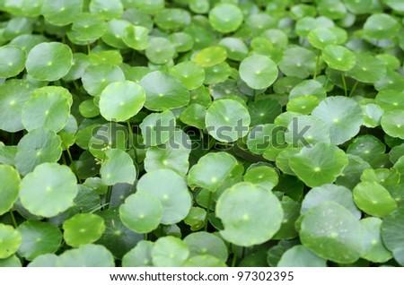 The scientific name is Centella asiatica