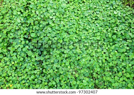 The scientific name is Centella asiatica