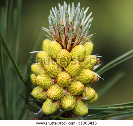 The Scots Pine (Pinus sylvestris L.; family Pinaceae) is a species of pine native to Europe and Asia