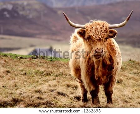 The Scottish Highlander - stock photo