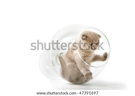The Scottish lop-eared  kitten plays in the big glass