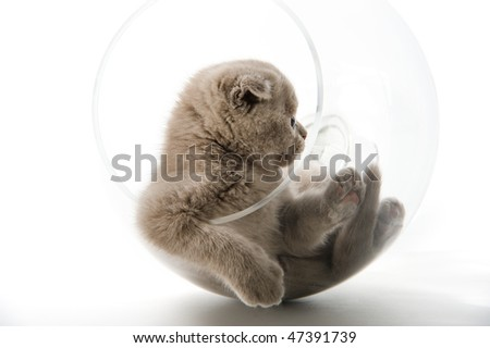 The Scottish lop-eared  kitten plays in the big glass - stock photo
