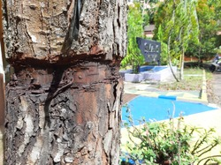 the scraped tree trunk, in front of a high school in Pontianak City, west Borneo (Kalimantan), Indonesia