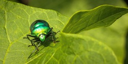 The scutelleridae are a true bug family. They are commonly known as jewel bugs or metal protective bugs because of their often brilliant colors. They are also known as shields.