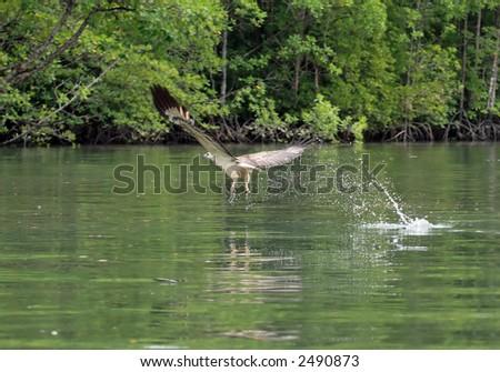 The sea eagle fishes in a gulf of Andaman sea near  Langkawi island, Malaysia