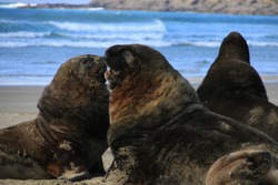 The sea lions are having a peaceful day at the Cannibal bay, New Zealand, Catlins, South Island