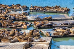 The Sea Lions of Pier 39 in San Francisco