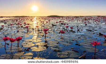 The sea of red lotus, Lake Nong Harn, Udon Thani, Thailand