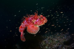 The Sea raven (Hemitripterus villosus)  and a pack of Eastern bass.