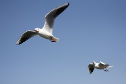 the seagull flying on the sky