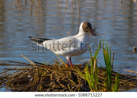 The seagull is engaged in building a nest on a swamp. #1088715227