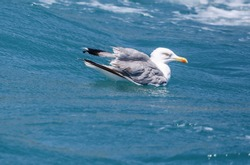 The seagull swims in the waves of the blue sea. Bird