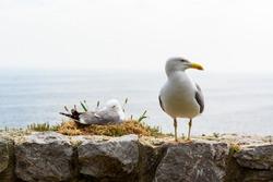 The seagulls nest on the ocean coast. Birds in the nest. Seagulls on the Spanish coast of the bay of Biscay. Seagulls and the nest on the background of the sea. The birds nest on the fortress wall.
